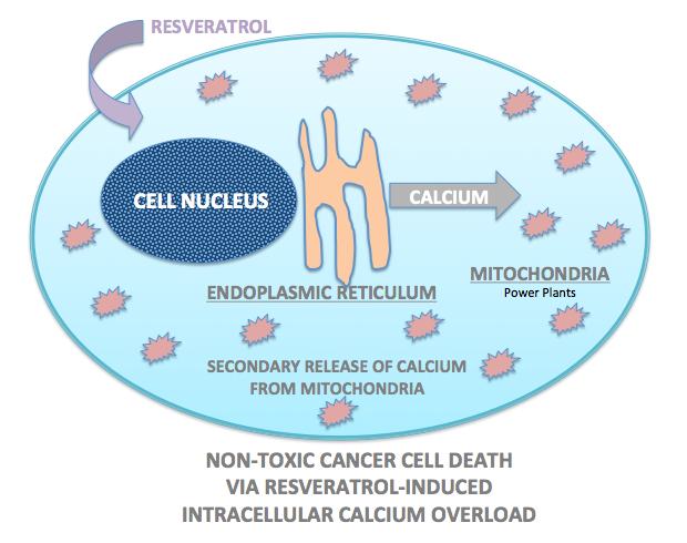 Cell: Non-toxic Cancel Cell Death Via Resveratrol-Induced Intracellular Calcium Overload
