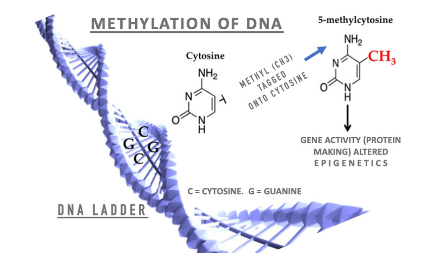 Methylation of DNA